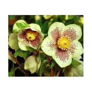 Pliny the Elder wrote about hellebore. He is dead. If you eat hellebore you will also be dead.